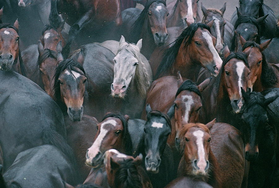 Equus Caballus Photograph - Wild Horses In A Pen by Philippe Psaila/science Photo Library