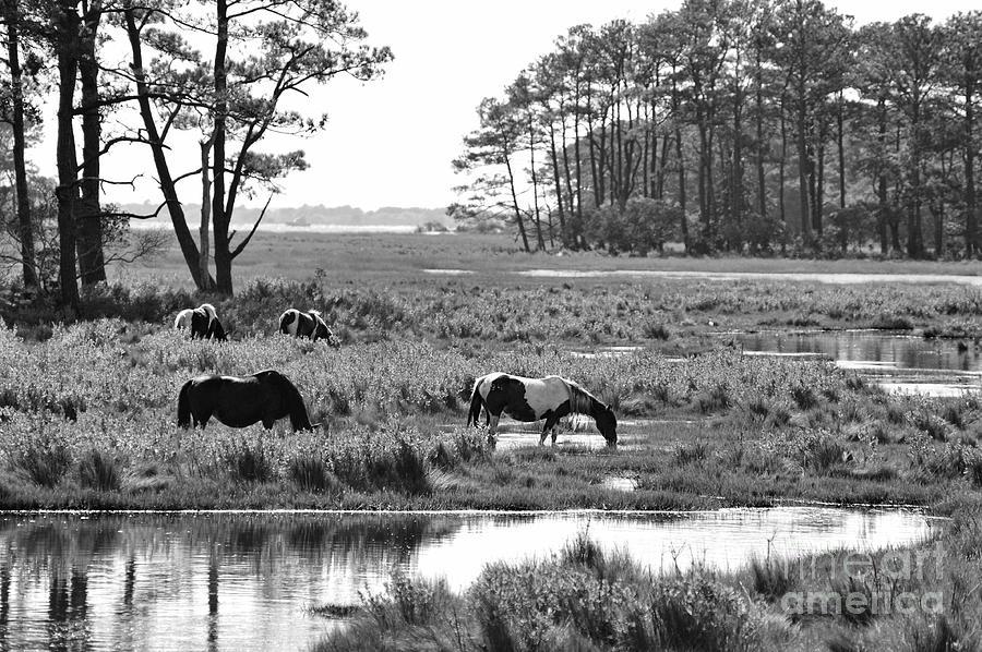 Wild Horses Photograph - Wild Horses Of Assateague Feeding by Dan Friend