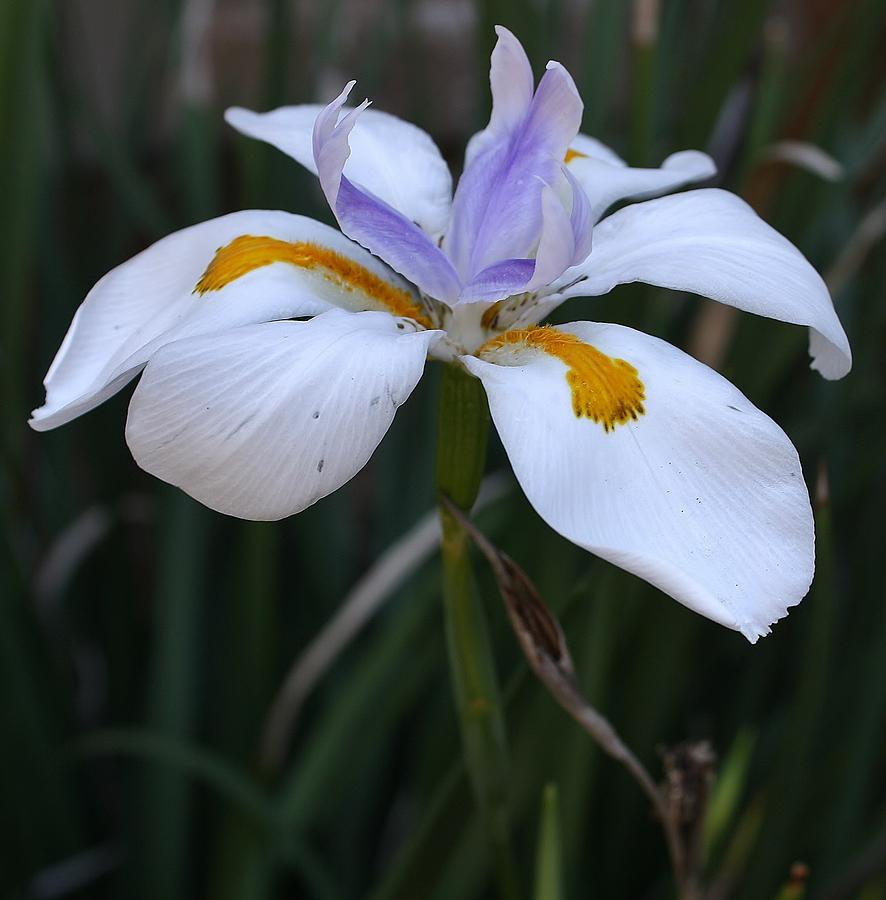 Flora Photograph - Wild Liliy by Bruce Bley