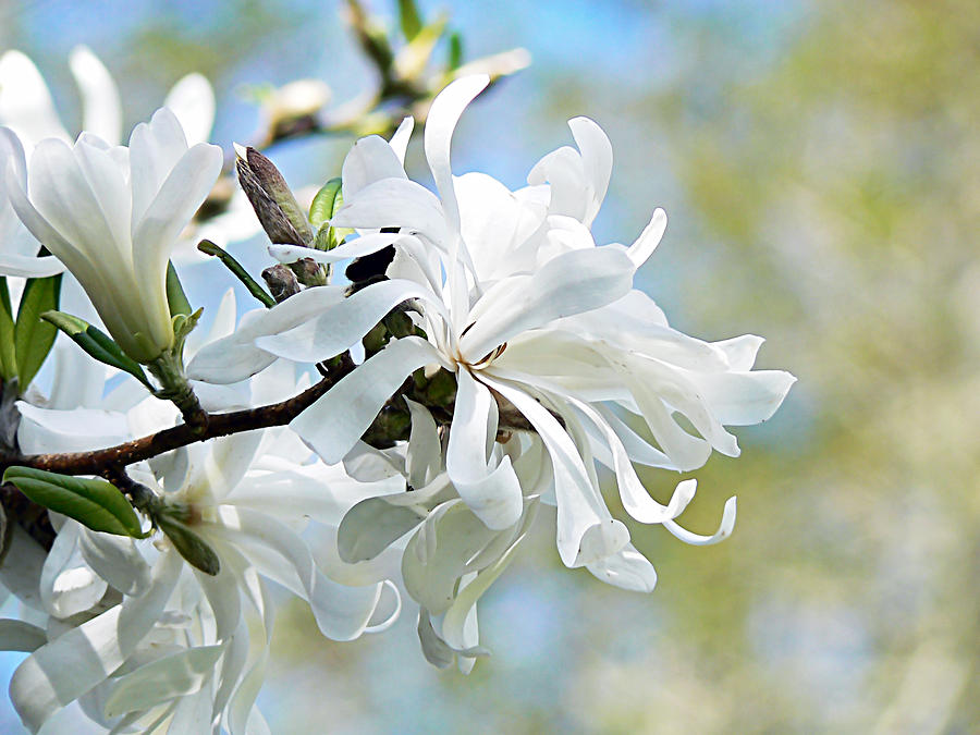 Magnolia Photograph - Wild Magnolia Blooms by Pamela Patch