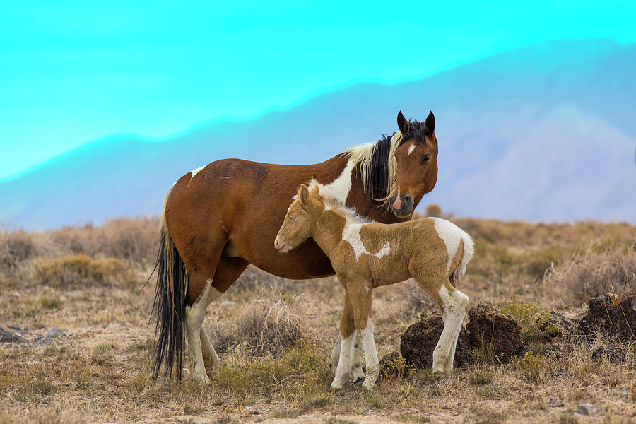 Wild Mustang Horses In The West Desert Photograph by Don Cook