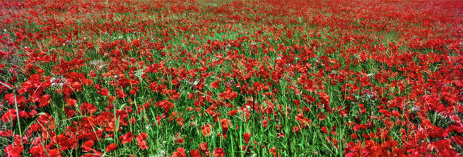 Horizontal Photograph - Wild Poppies Growing In A Field, South by Panoramic Images