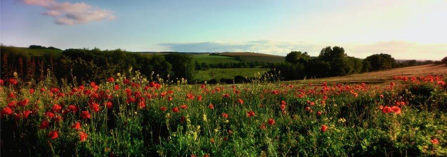 Horizontal Photograph - Wild Poppies Growing In A Field, Wylye by Panoramic Images