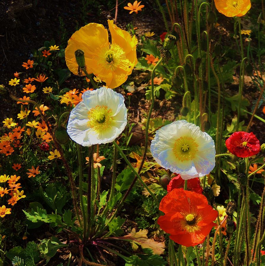 California Poppies Photograph - Wild Poppies by Helen Carson