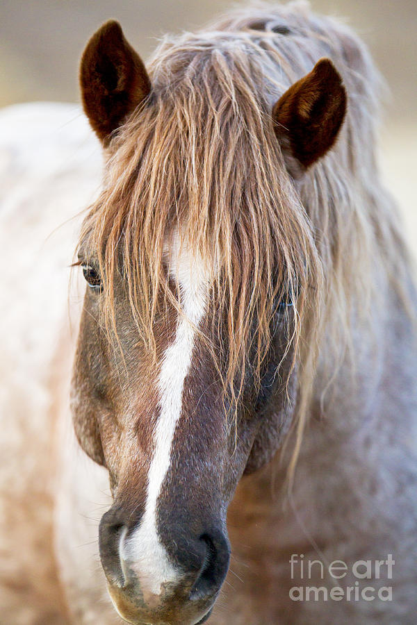 Wild Horse Photograph - Wild Red Roan Stallion Comes Close by Carol Walker