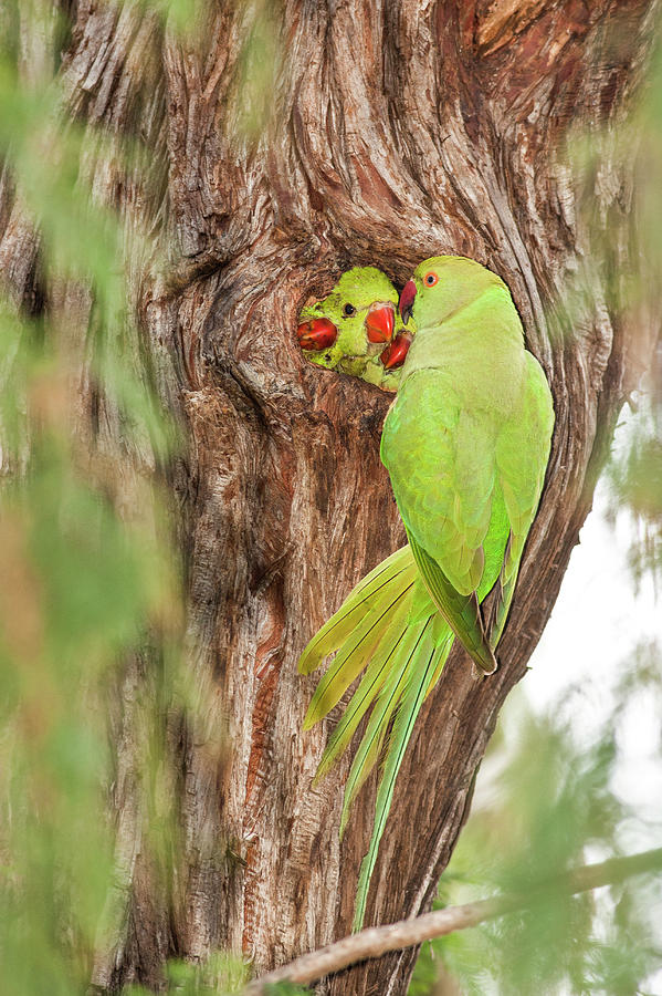 Wild Rose-ringed Parakeet Psittacula Photograph by Photostock-israel