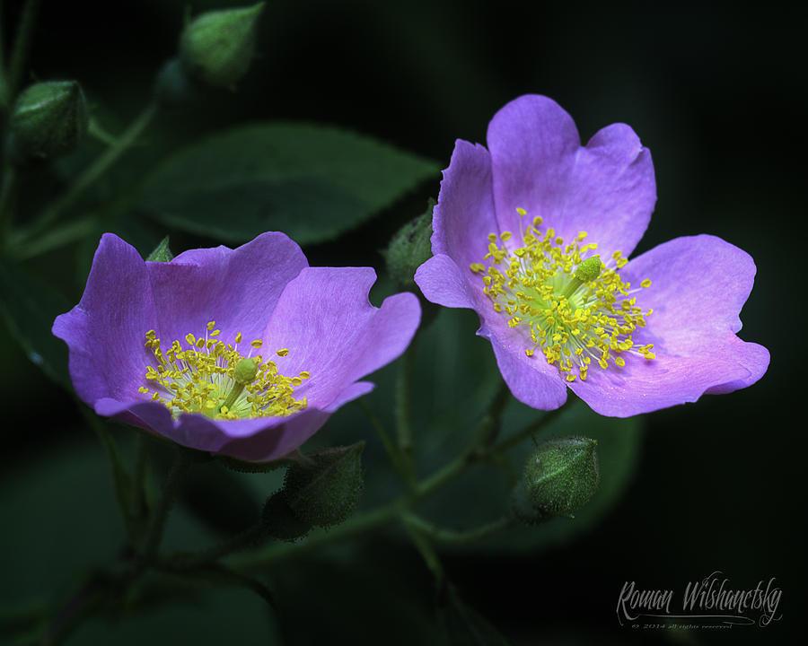 Wild Rose by Roman Wilshanetsky