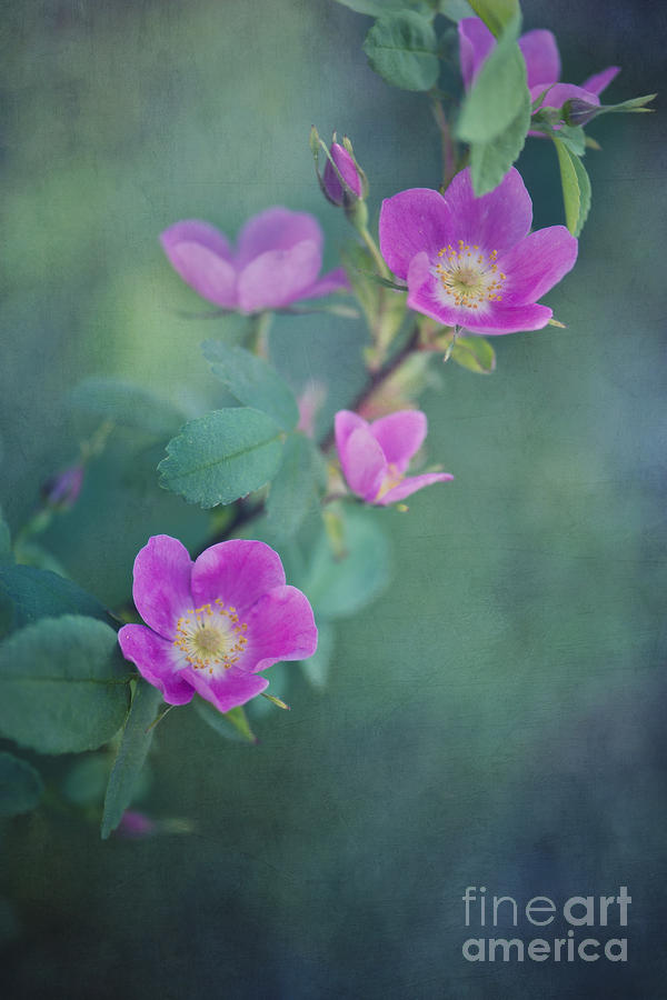 Rosa Acicularis Photograph - Wild Roses by Priska Wettstein