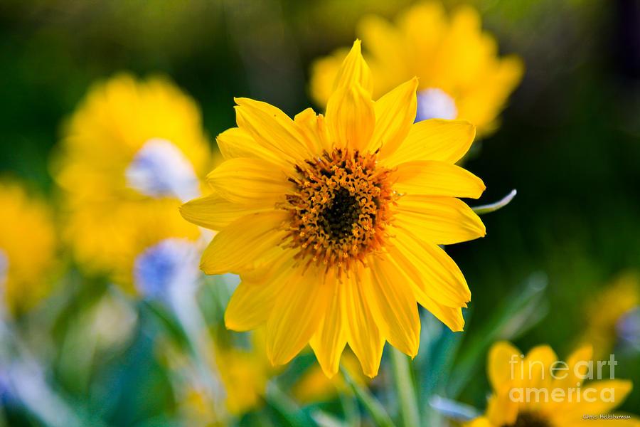 Yellow Photograph - Wild Sunflower by Chris Heitstuman