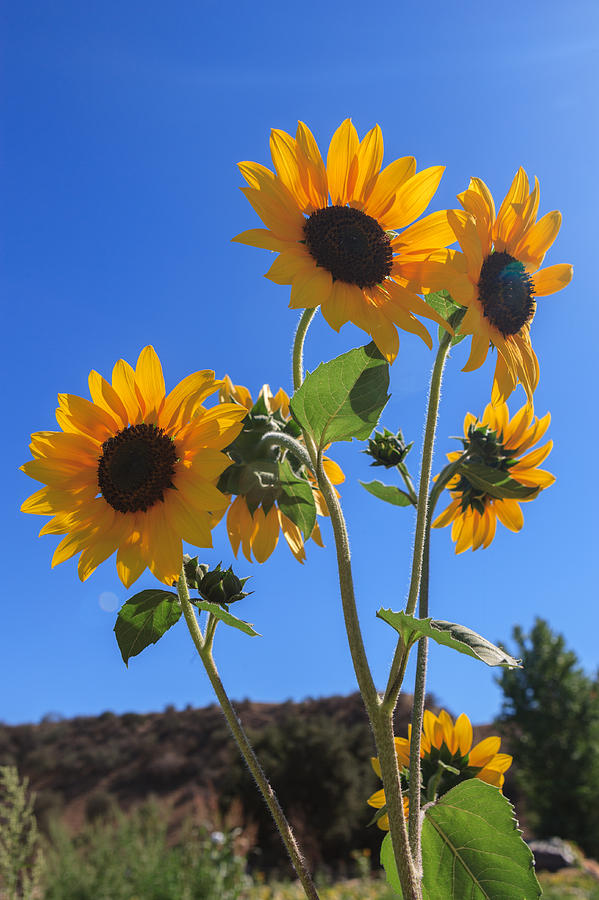wild-sunflowers-scott-campbell Painting Mobile Home Wall on how much texture to walls, paint designs with tape on walls, painting manufactured home vinyl wallpaper, manufactured homes walls, choosing paint colors interior walls, painting over wallpapered walls, painting loft walls, new techniques for painting walls, painting interior walls, painting office walls, different ideas for painting walls, trailer home walls, painting a wall with a paint brush, different styles of painting walls, painting art on the wall, painting your home, painting garage walls, painting room walls, painting can you paint over wallpaper, painting over ugly paneling,