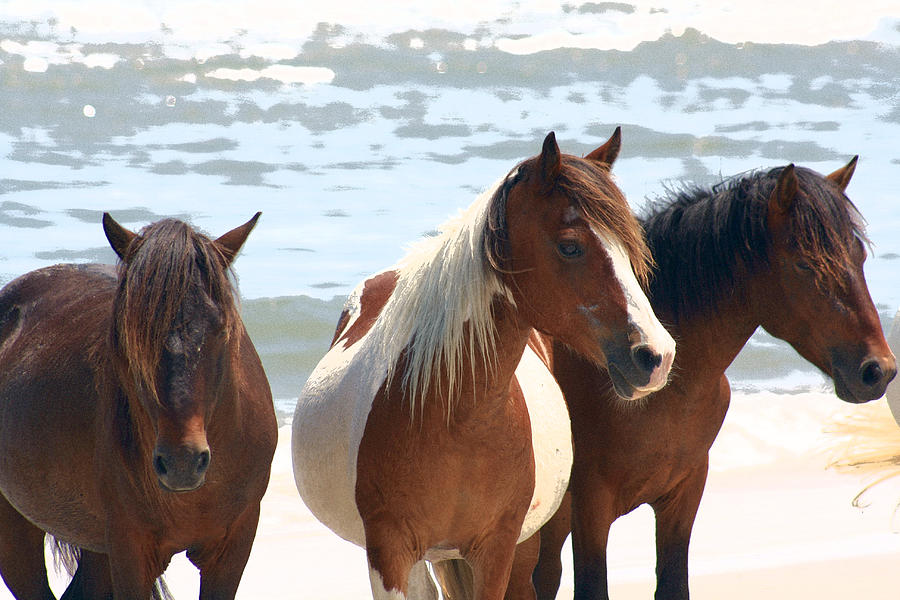 Assateague Photograph - Wild Trio by JB Stran