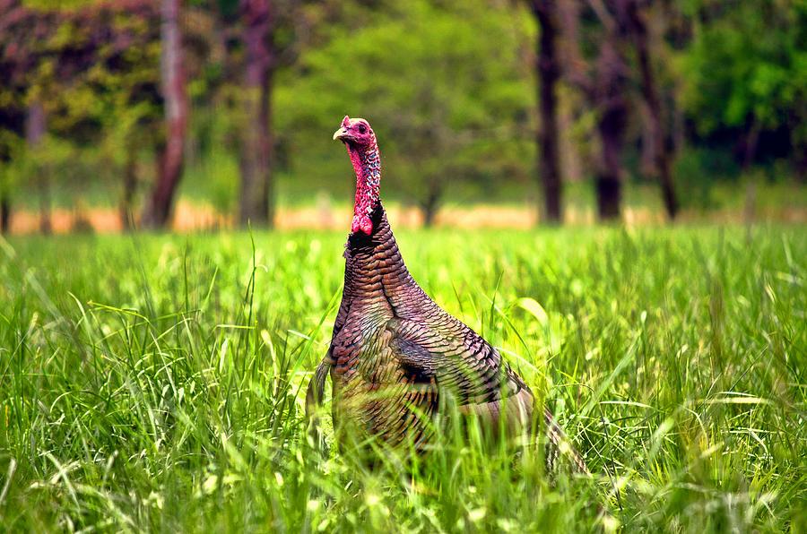 Turkey Photograph - Wild Turkey by Linda Mcfarland