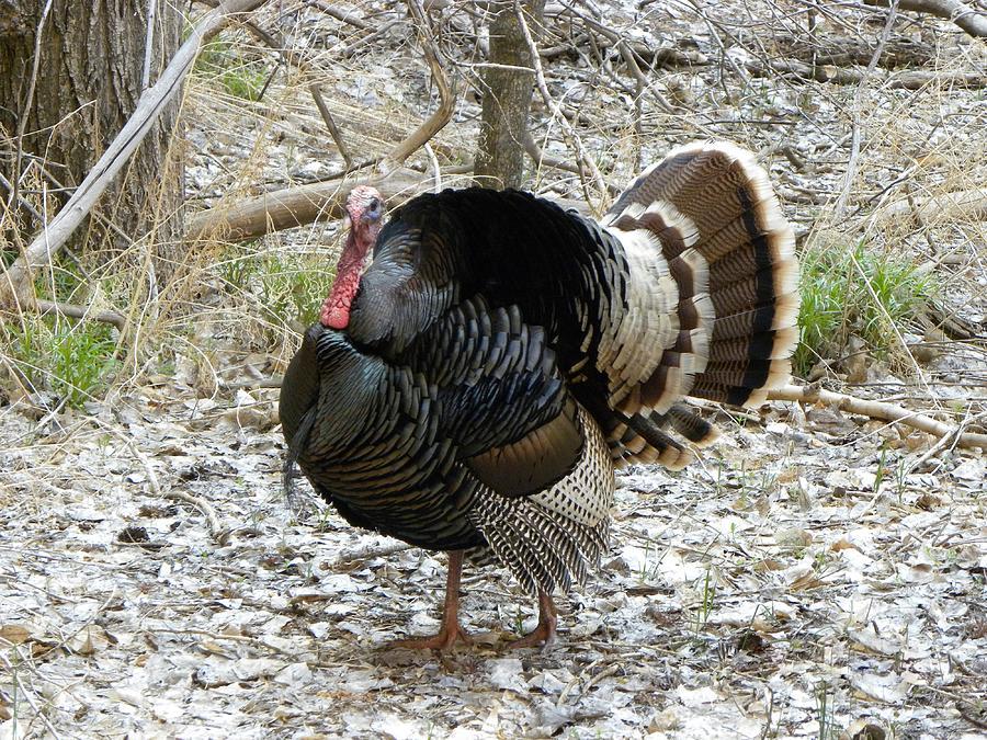 Animal Photograph - Wild Turkey Mnt Zion Ut by Margarethe Binkley