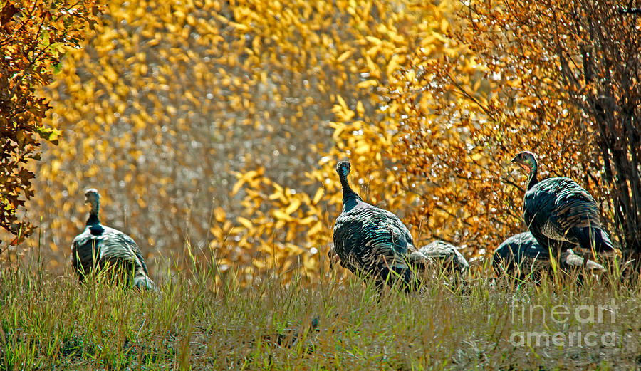 Birds Photograph - Wild Turkeys And Fall Colors by Robert Bales