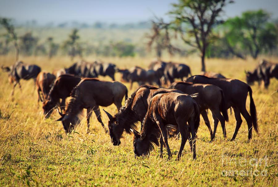 Gnu Photograph - Wildebeests Herd. Gnu On African Savanna by Michal Bednarek