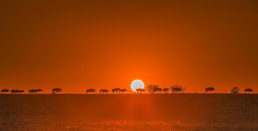 Golden Photograph - Wildebeests Walking In Golden Light by David Hua