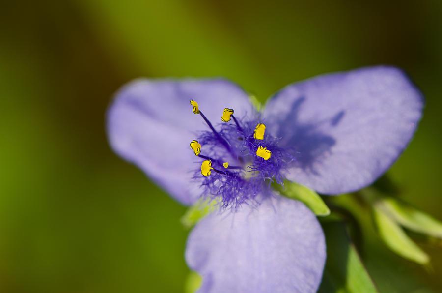 Wildflower Photograph - Wildflower 1 - Botanical Photography by Sharon Cummings by Sharon Cummings