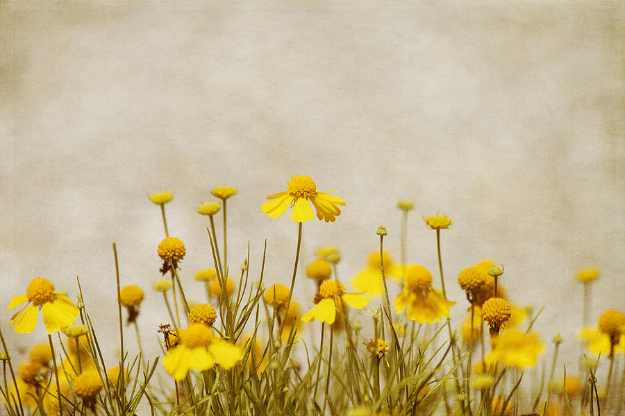 Yellow Flower Photograph - Wildflower Daisies by Kim Hojnacki