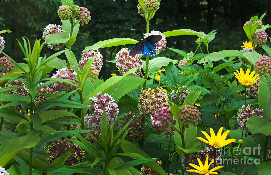 Common Milkweed Photograph - Wildflower Meadow by Kenneth Murray