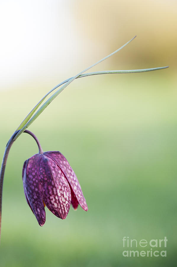Fritillaria Meleagris Photograph - Wildflower Snakes Head Fritillary by Tim Gainey