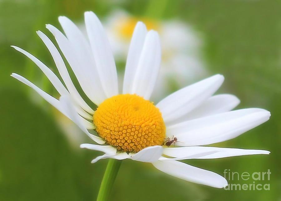 Flower Photograph - Wildflower by Sylvia  Niklasson