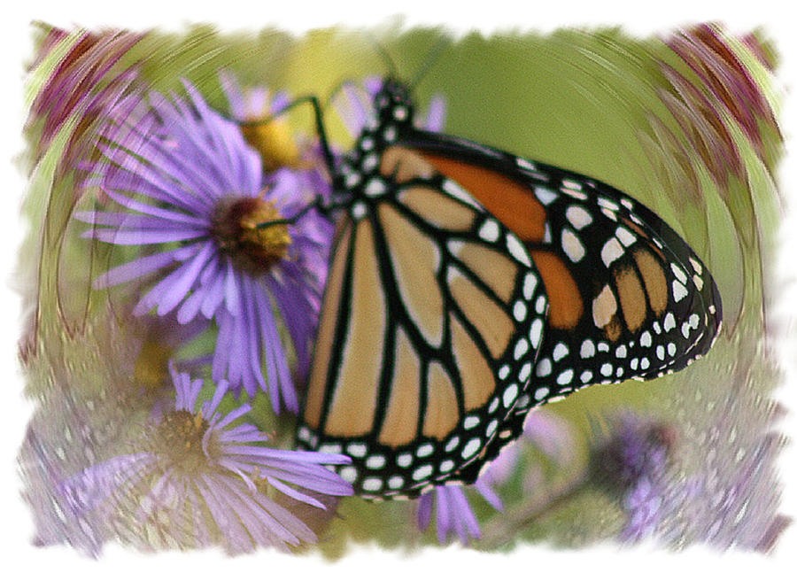 Monarch Photograph - Wildflower Visitor by Sharon McLain