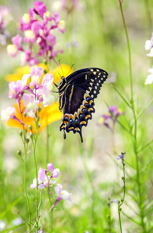 Wildflowers Photograph - Wildflowers And Butterfly by Bill LITTELL