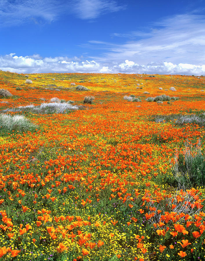 Alive Photograph - Wildflowers At The California Poppy by John Alves