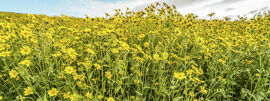 Horizontal Photograph - Wildflowers In A Field, Carrizo Plain by Panoramic Images