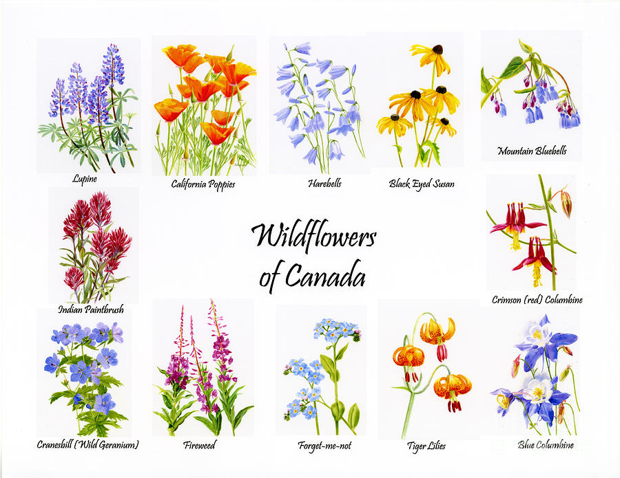 Wild Flowers Painting - Wildflowers Of Canada Poster by Sharon Freeman