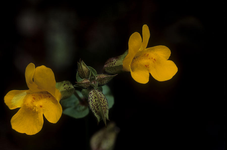 Wildflowers yellow monkey flower photograph by jerry shulman wildflowers photograph wildflowers yellow monkey flower by jerry shulman mightylinksfo