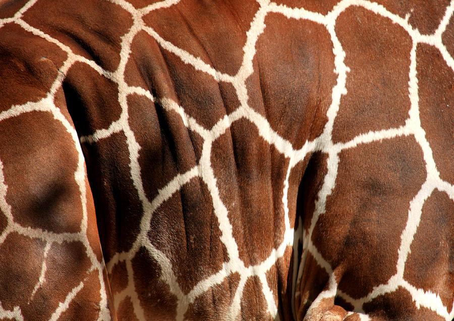 Giraffe Photograph - Wildlife Patterns  by Aidan Moran