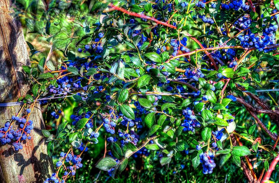Willamette Valley Blue Berries 17033 Photograph