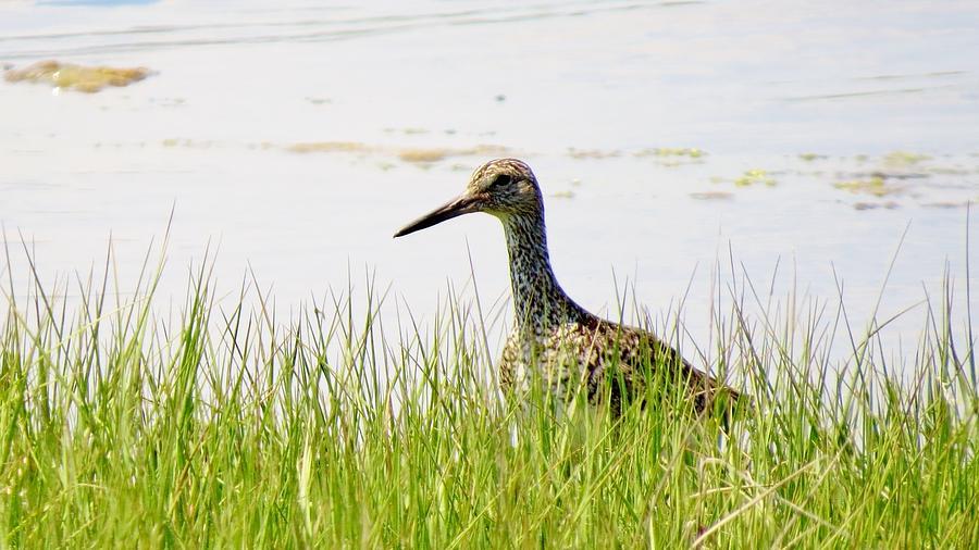 Bird Photograph - Willet Hunter by Art Dingo