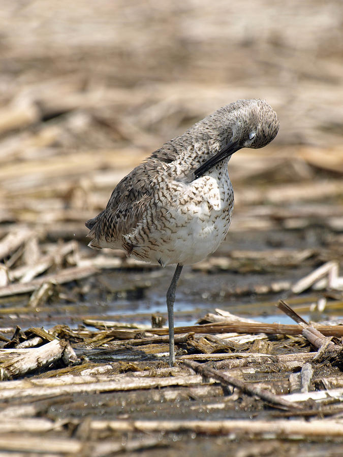 Jim Photograph - Willet by James Peterson