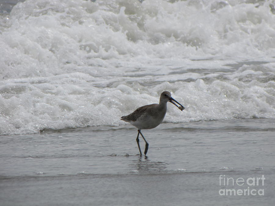 Sea Bird Photograph - Willet With A Catch by Gayle Melges
