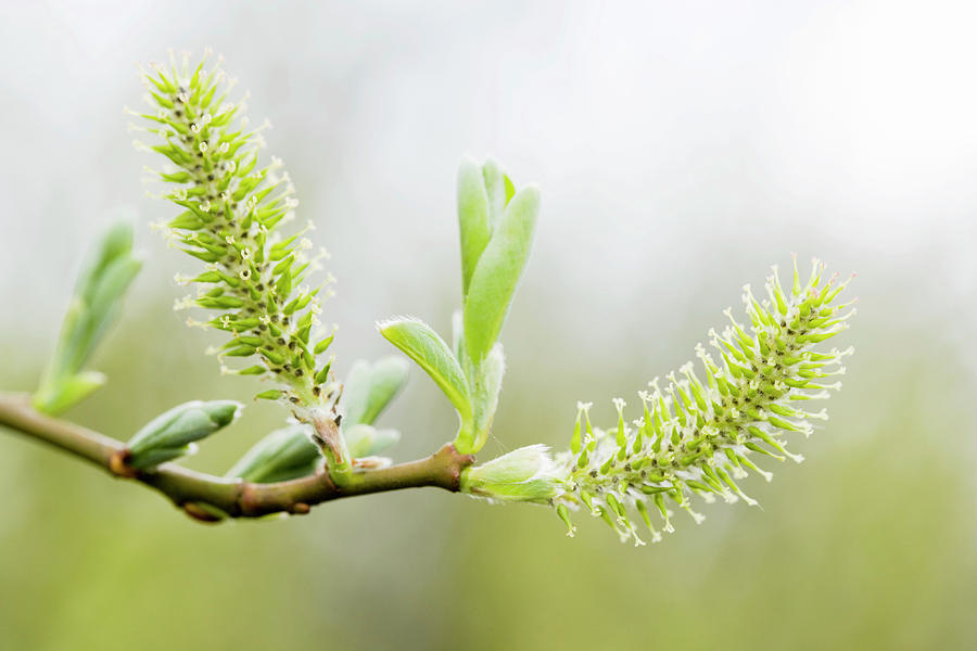 Willow Photograph - Willow Catkins (salix Sp.) by Gustoimages/science Photo Library