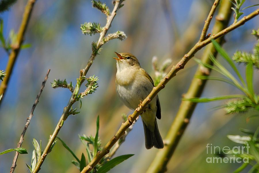 Willow Warbler Photograph - Willow Warbler Singing In Spring by John Kelly