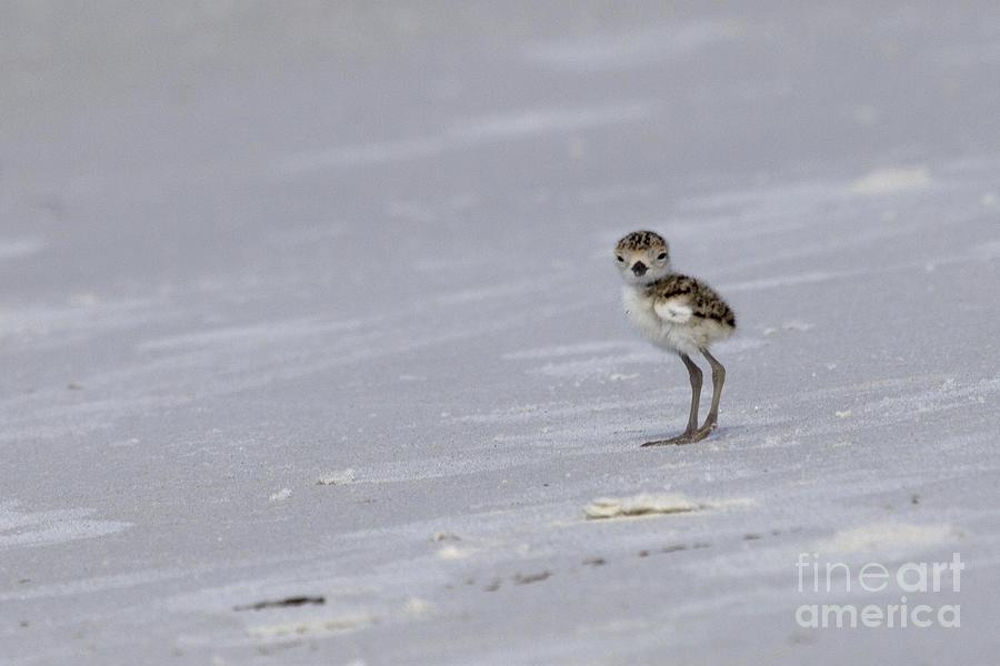 Wilson's Plover Photograph - Wilsons Plover Chick Photo by Meg Rousher