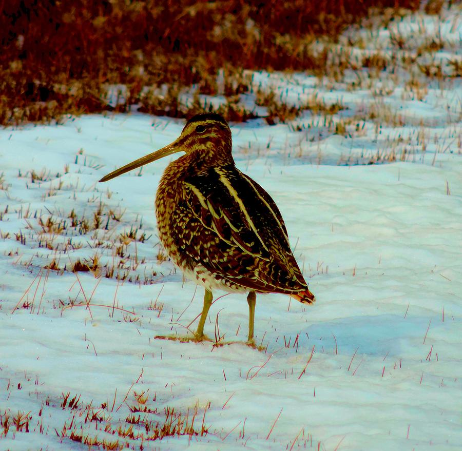 Snipe Photograph - Wilsons Snipe 1 by Stephanie Kendall