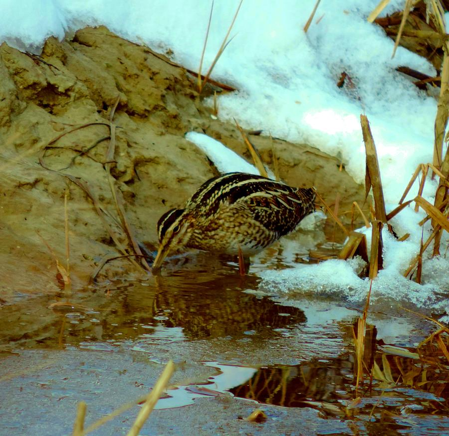 Snipe Photograph - Wilsons Snipe 2 by Stephanie Kendall