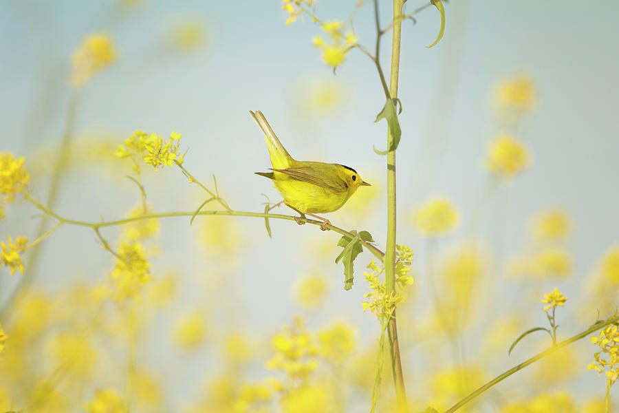 Wilsons Warbler Perched In Wild Mustard Photograph by Susangaryphotography