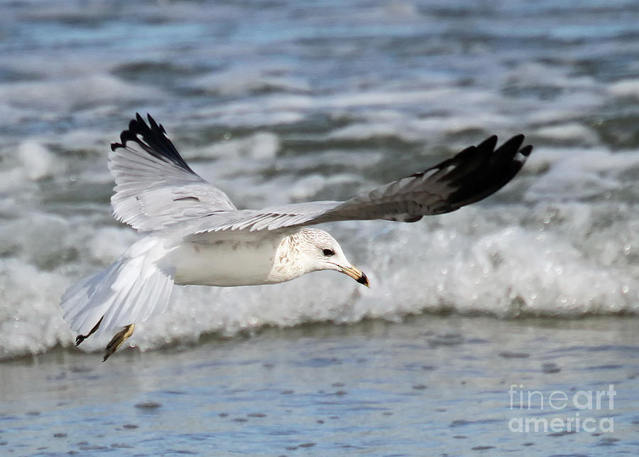 Seagulls Photograph - Wind Beneath My Wings by Geoff Crego