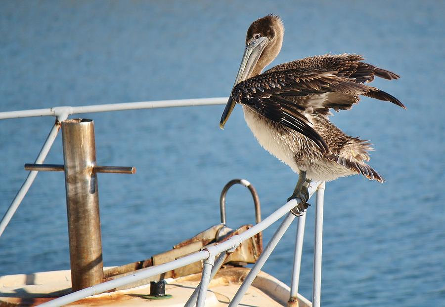 Pelican Photograph - Wind Beneath My Wings by Paulette Thomas