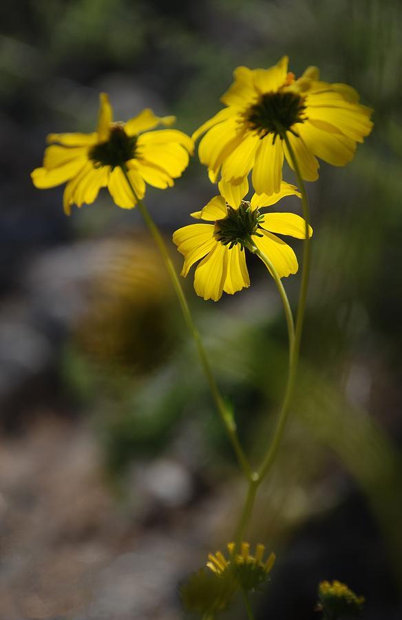 Yellow Photograph - Wind Blown Daisies by Alfredo Martinez