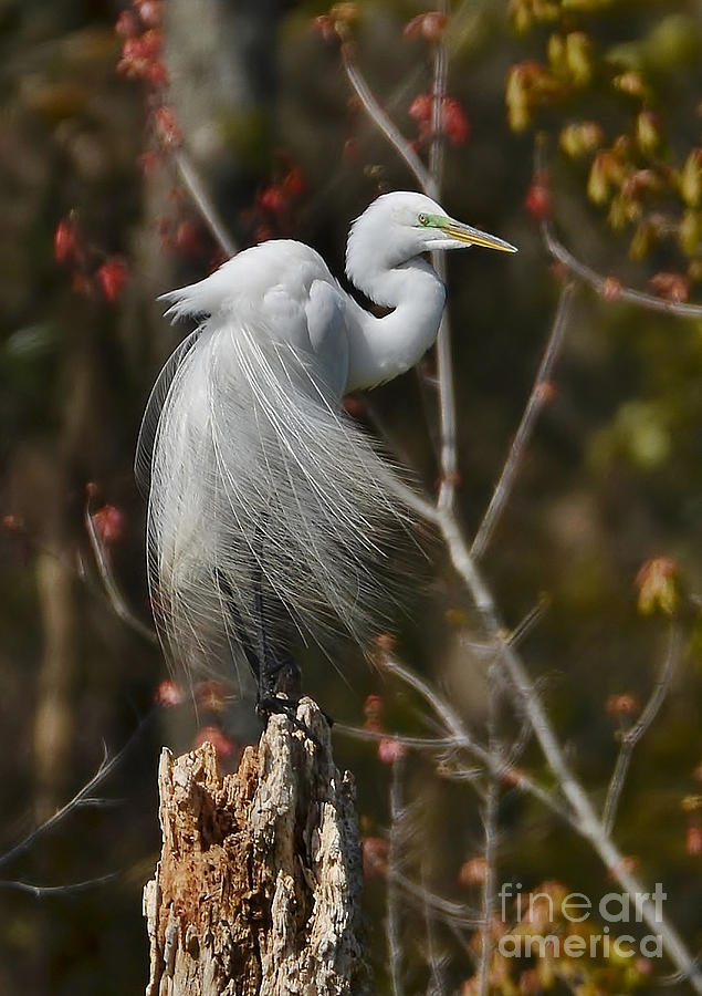 Egret Photograph - Wind In His Feathers by Kathy Baccari