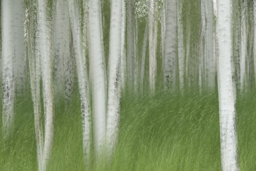 Colorado Photograph - Wind In The Aspen by Nancy Myer