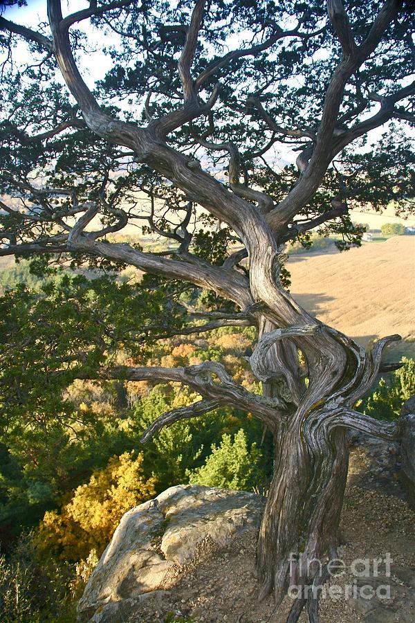 Wind Twisted Tree by Joan McArthur