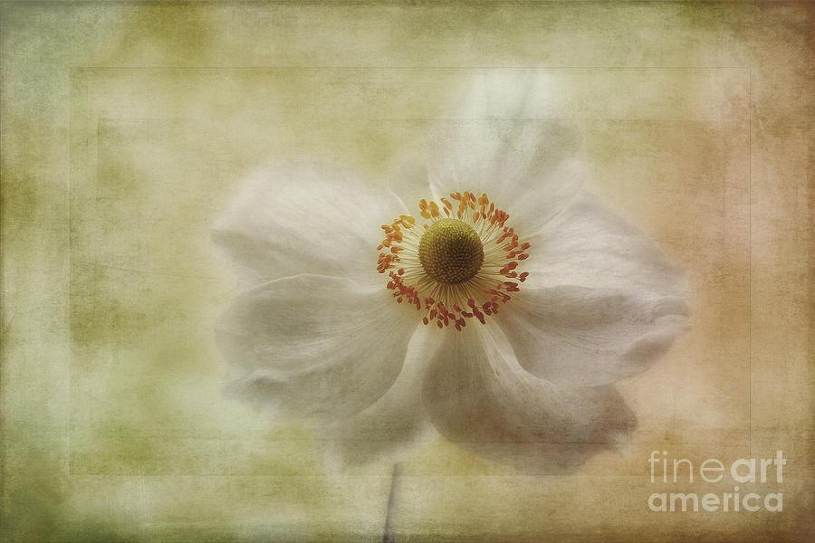 Japanese Windflower Photograph - Windblown by John Edwards
