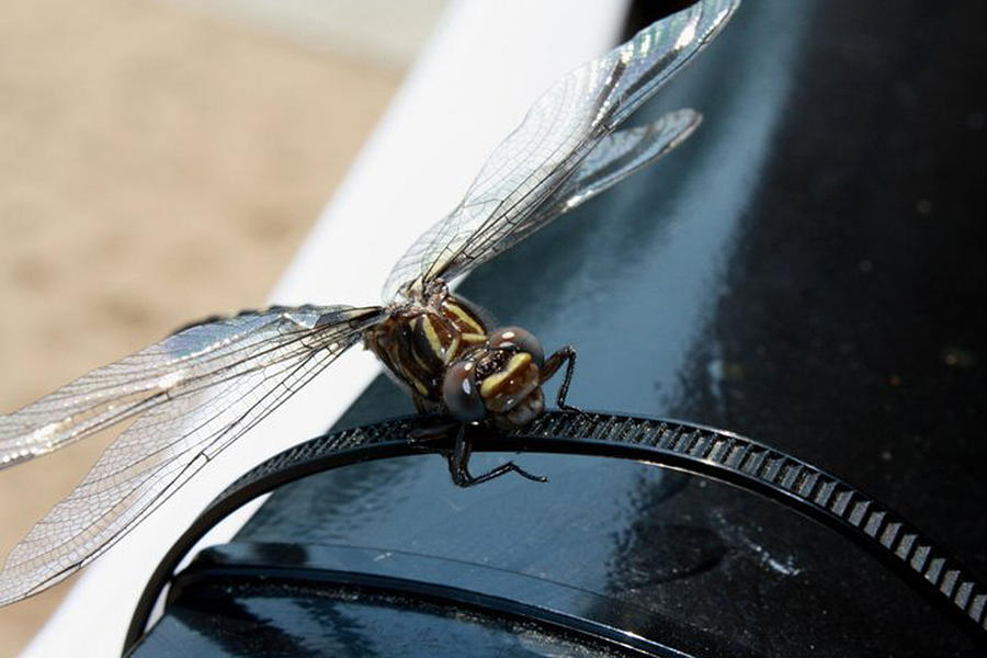 Bug Photograph - Windshield Dragon Fly by Maria Schaefers